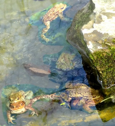 Das Bild zeigt Kröten in ihrem Geburtsteich auf dem Vereinsgelände.